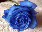 Профиль Индийская_роза