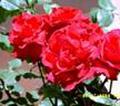 Профиль He_calles_me_the_wild_rose
