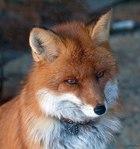 Профиль Fox_Lana