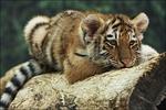 Профиль Tigressk