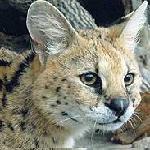 Профиль servalka