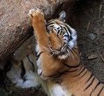 Профиль Побеждающий_Тигр