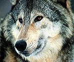 Профиль Волк_2006