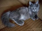 Профиль Карликовые_кошки_наполеон