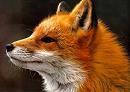 Профиль Foxi