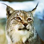 Wild_Katze