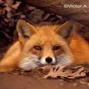 Профиль Foxyfox