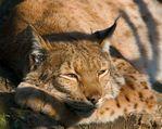 Профиль Lynx_Rufus